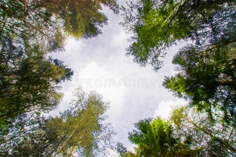 Tree tops in a summer forest stock photography