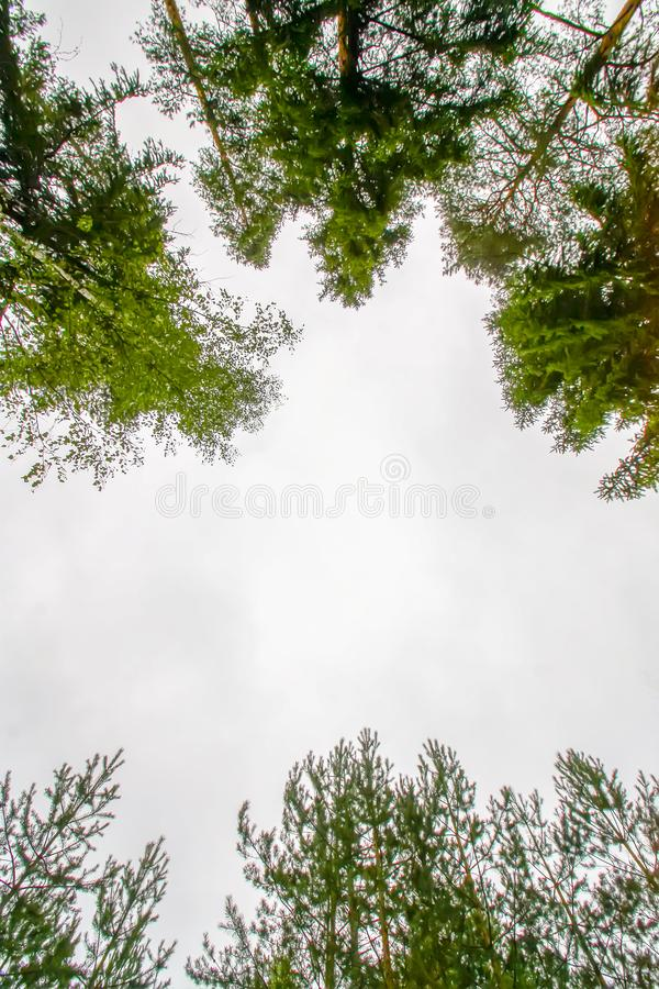 Tree tops in a forest. Tree tops in a summer forest royalty free stock images