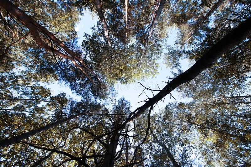 Tree tops. Summer forest. royalty free stock images
