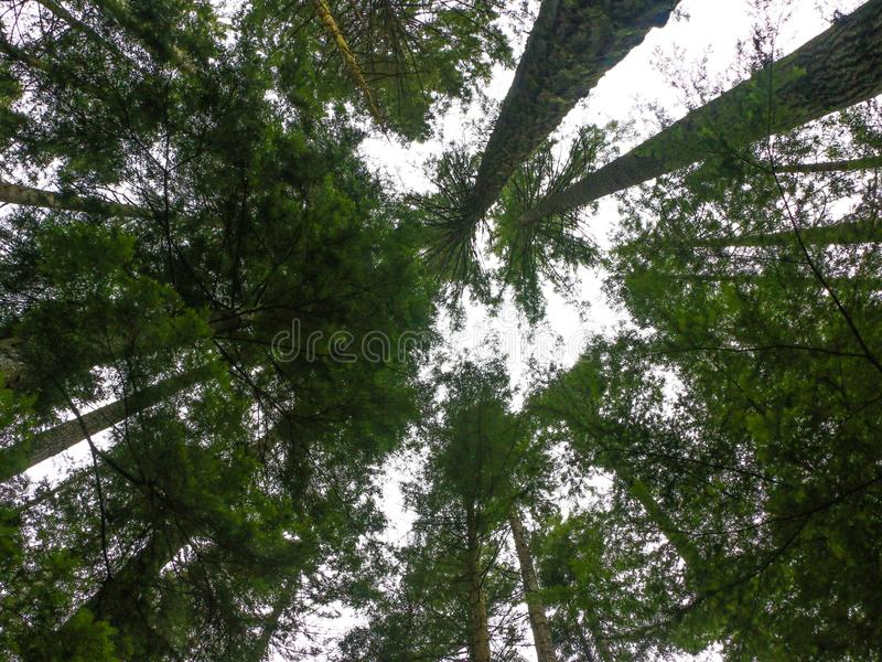 Tree Tops. Trees tree tops Campbell River Beaver Lodge royalty free stock images