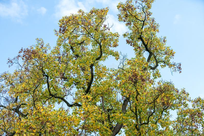 Tree tops whit sky. View of green and yellow tree tops close up with a blue sky whitt clouds on a background stock photos