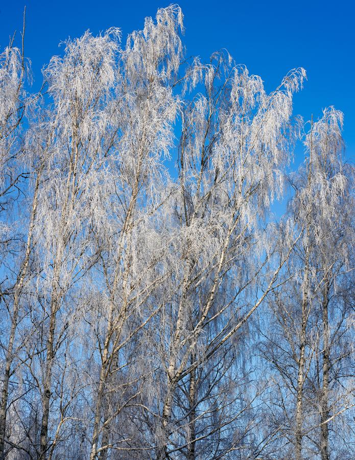The tree tops with white frost. Cold winter day, rime covered birch branches all; blue sky background, view from the bottom up to the tree tops with white frost stock image