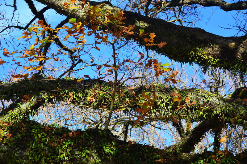Tree within a tree. Tree oak garden autumn park branch bough leaves leaf colours wood royalty free stock image