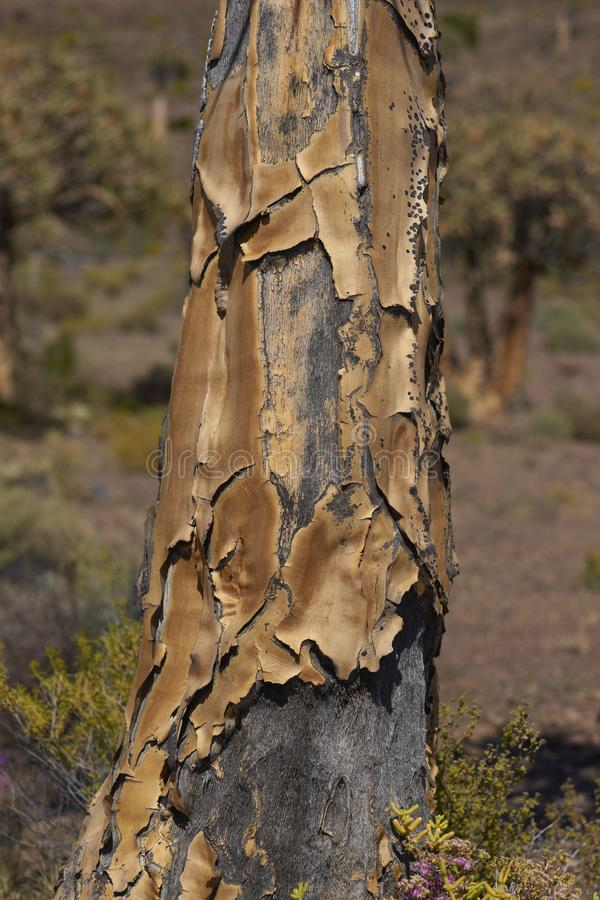 Download Tree trunk stock image. Image of quiver, nature, dichotoma - 26159863