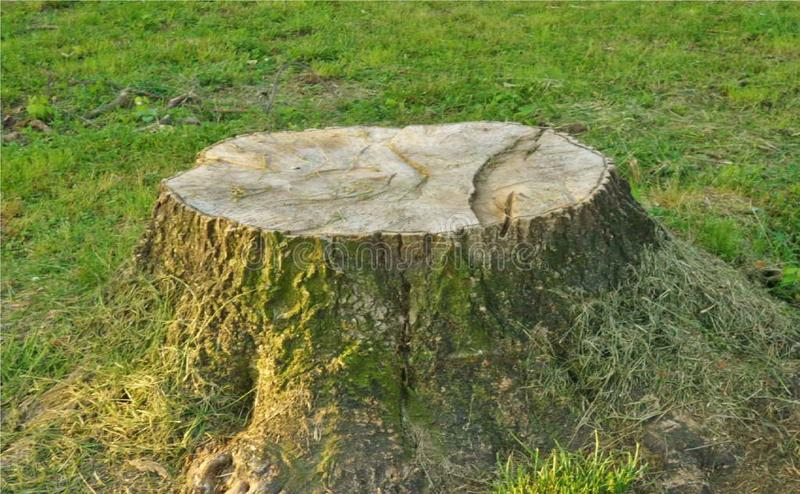 Tree trunk in Agliana, Italy. Tree trunk cut due to its internal disease at the top of the trunk itself which was removed in the town of Agliana, Italy royalty free stock photography