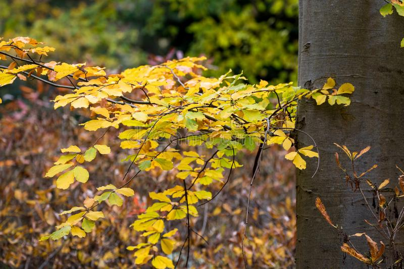 Tree trunk with autumn coloured leaves royalty free stock images