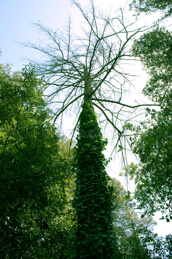 Download Tree Trunk And Branches, Canopy Stock Photo - Image: 10606980