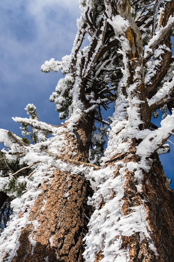 Tree trunk and branches covered in ice formations sculpted by wind, Mount San Antonio Mt Baldy, south California stock photo