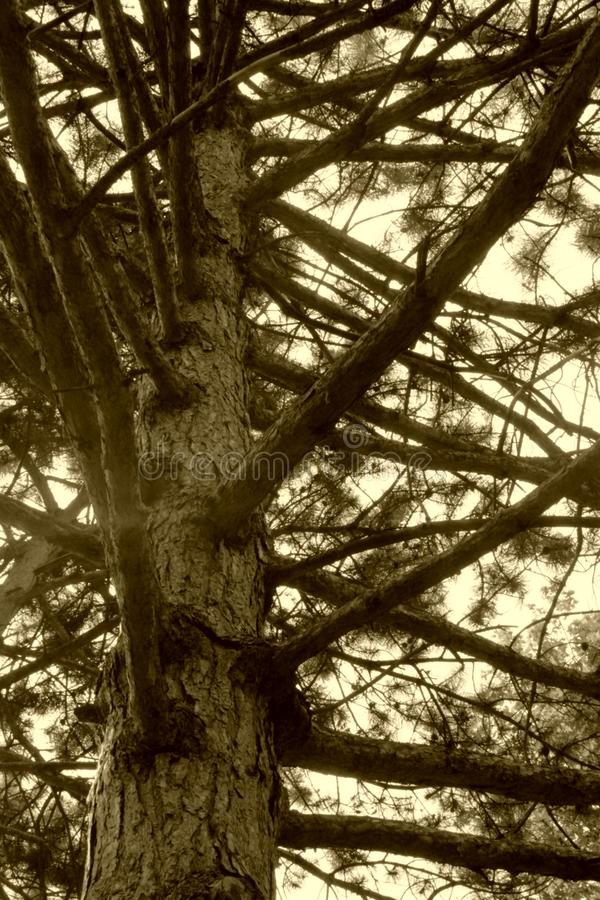 tree trunk and branches. pines, bottom view. branches as steps stock photo