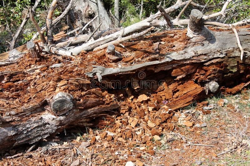 Tree trunk completely destroyed by termites royalty free stock image