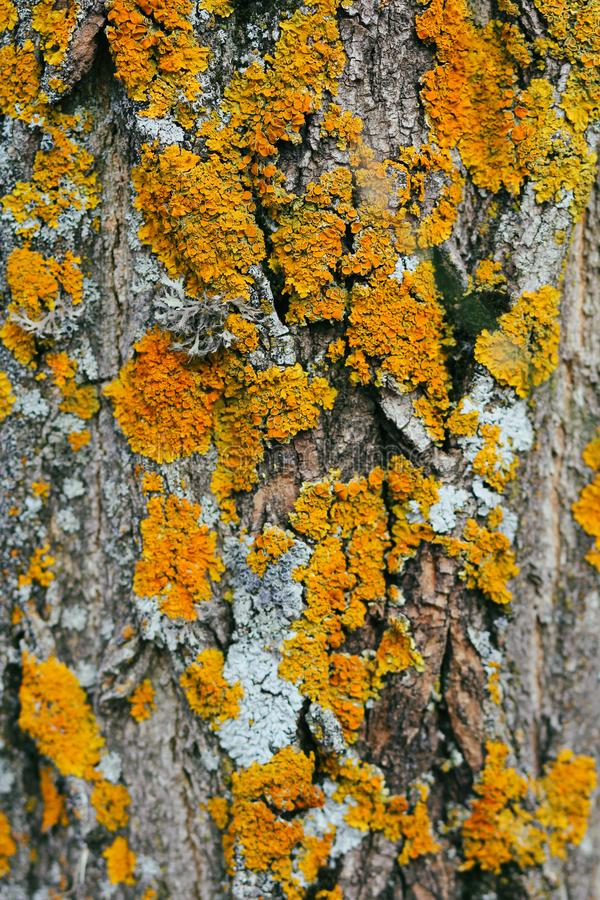 Tree trunk covered with lichen and moss. Rough natural background. Forest nature. Flora. Plants and flowers. Old tree texture. Yellow and blue lichen royalty free stock photos