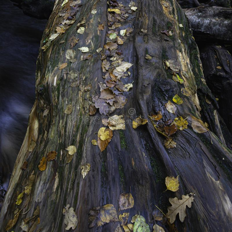 Tree trunk covered with wet leaves in autumn. Tree trunk over stream covered with wet, yellow, orange and brown leaves in autumn.Nature abstract, landscape stock images