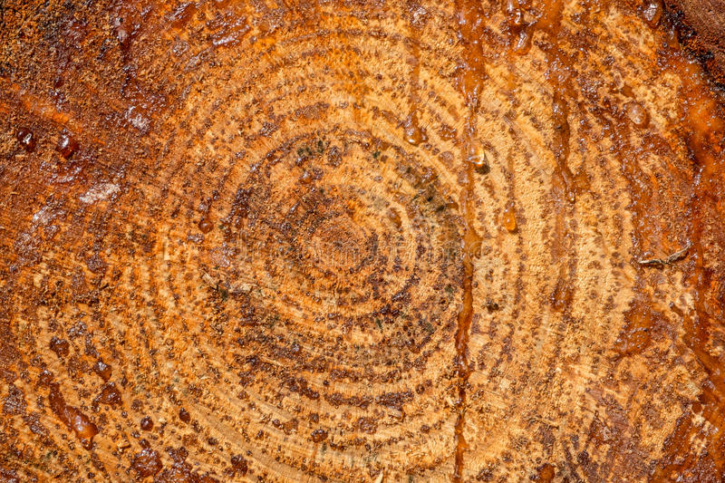 Tree trunk cross section stock images