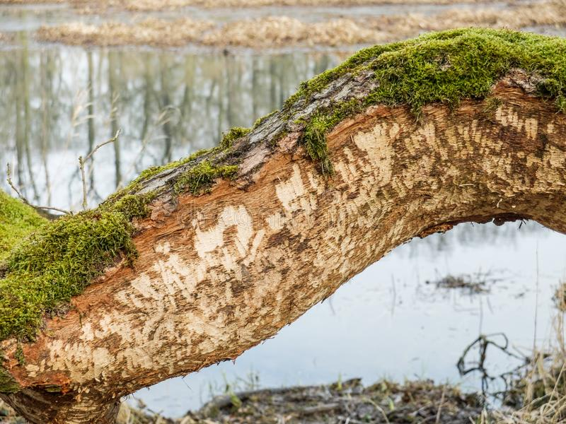 Tree Trunk damaged by Beaver Castor fiber. Beaver tooth marks visible on gnawed tree trunk with soft focus background stock photos