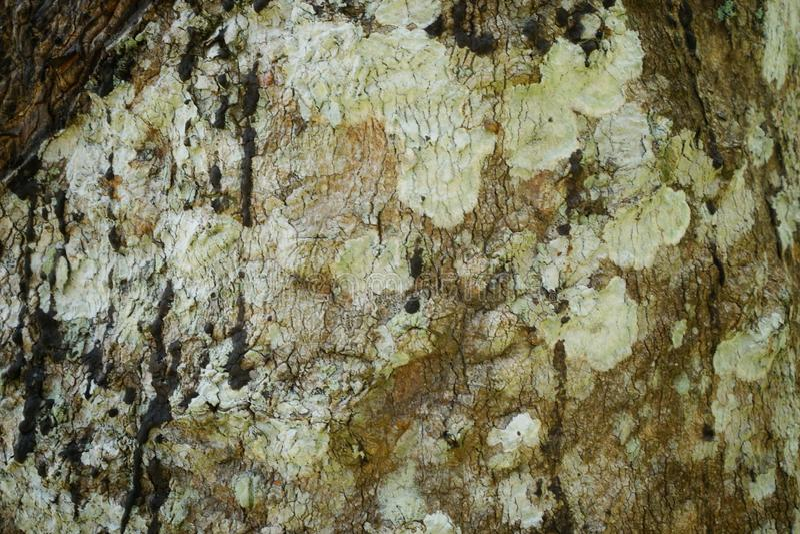 Tree trunk detail texture as natural background. Bark tree texture wallpaper. Wood texture background. trunk detail texture background. Bark tree texture stock photos