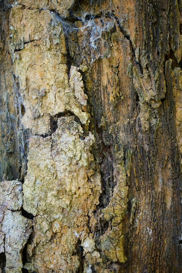 Tree trunk detail texture as natural background. Bark tree texture wallpaper. Wood texture background. trunk detail texture background. Bark tree texture royalty free stock photo