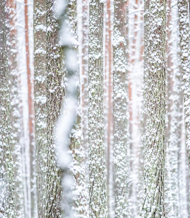 Tree trunk got white with snow royalty free stock image