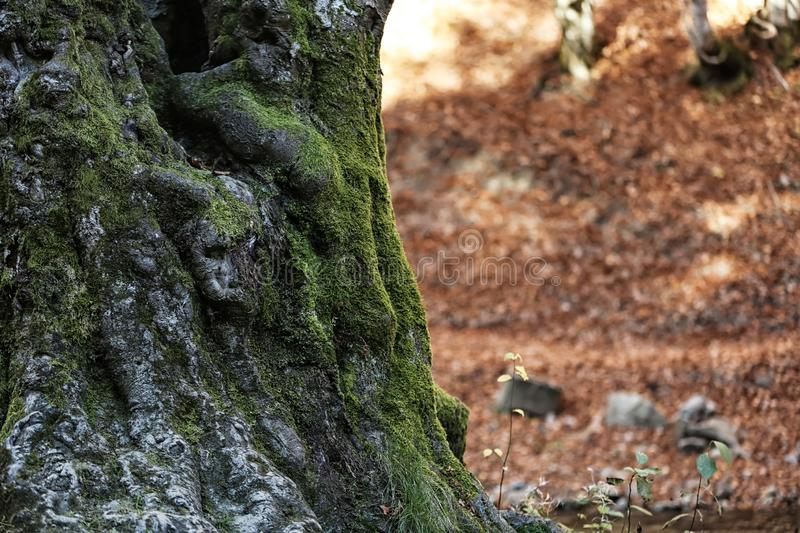 Tree trunk with green moss. In autumn forest stock image