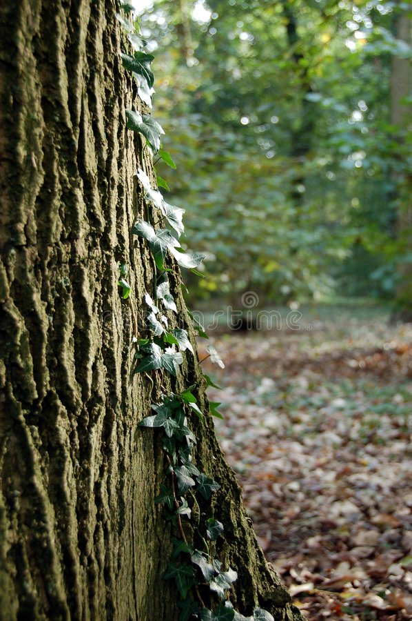 Tree trunk with ivy stock photos