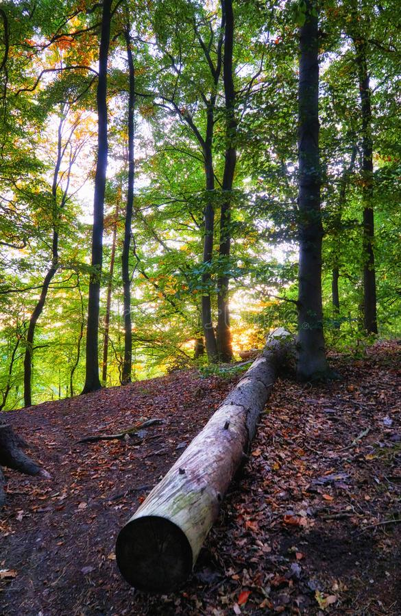Tree trunk lying in the forest royalty free stock images