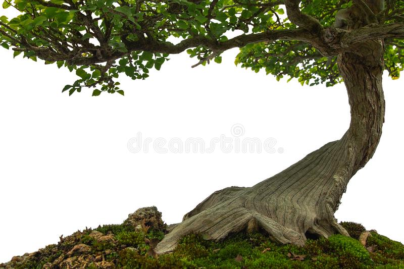 Tree trunk on moss covered ground, miniature bonsai tree on whit. E background royalty free stock image