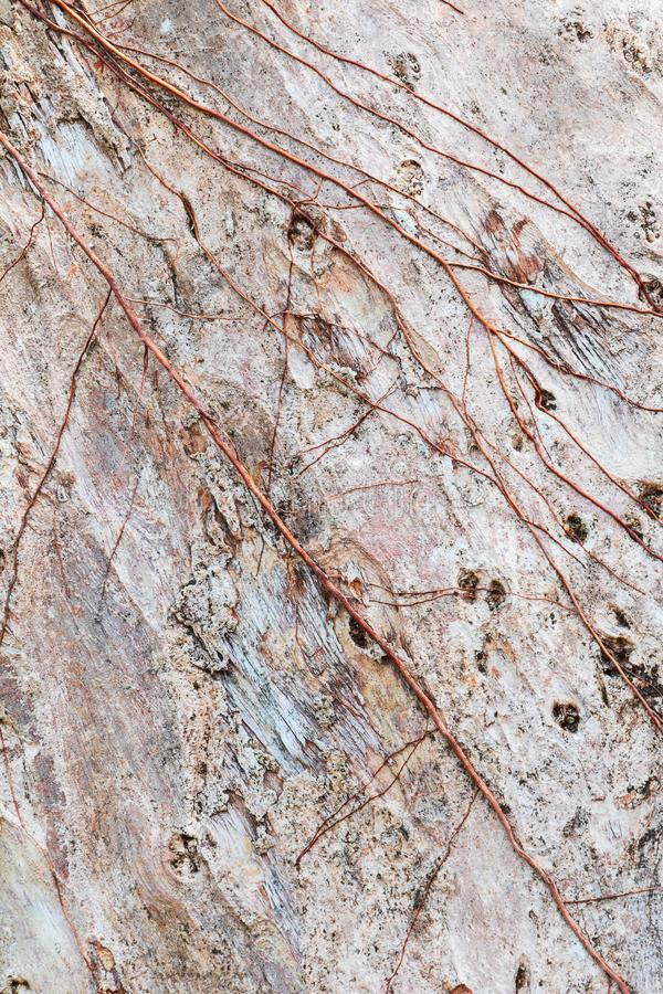 tree trunk nature. bark texture pattern wood for background image vertical royalty free stock photography