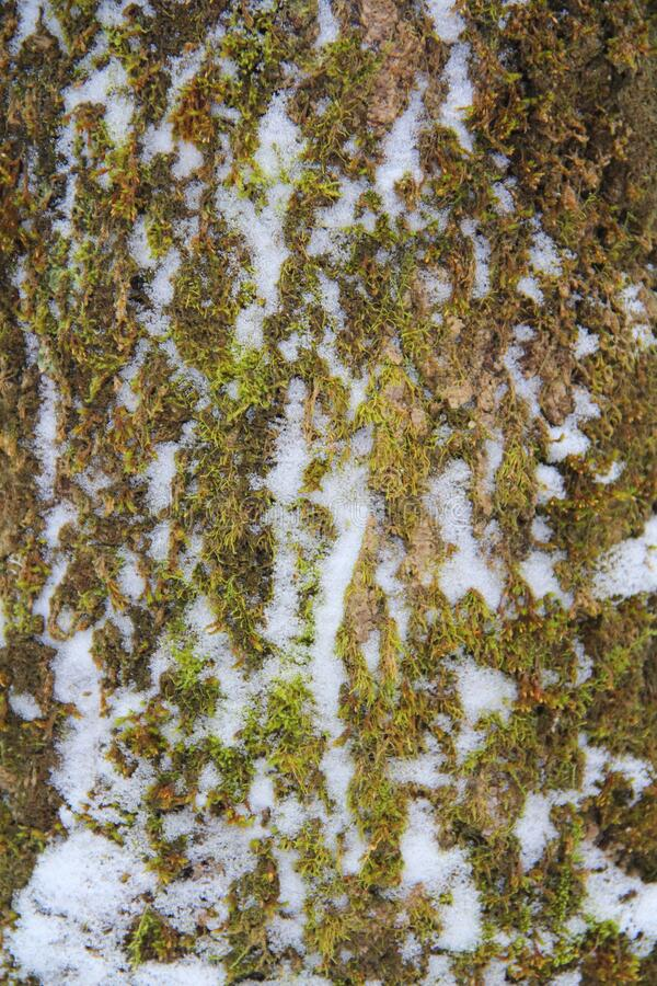 Tree trunk overgrown with green moss and snow-covered in winter in the forest.  stock photo