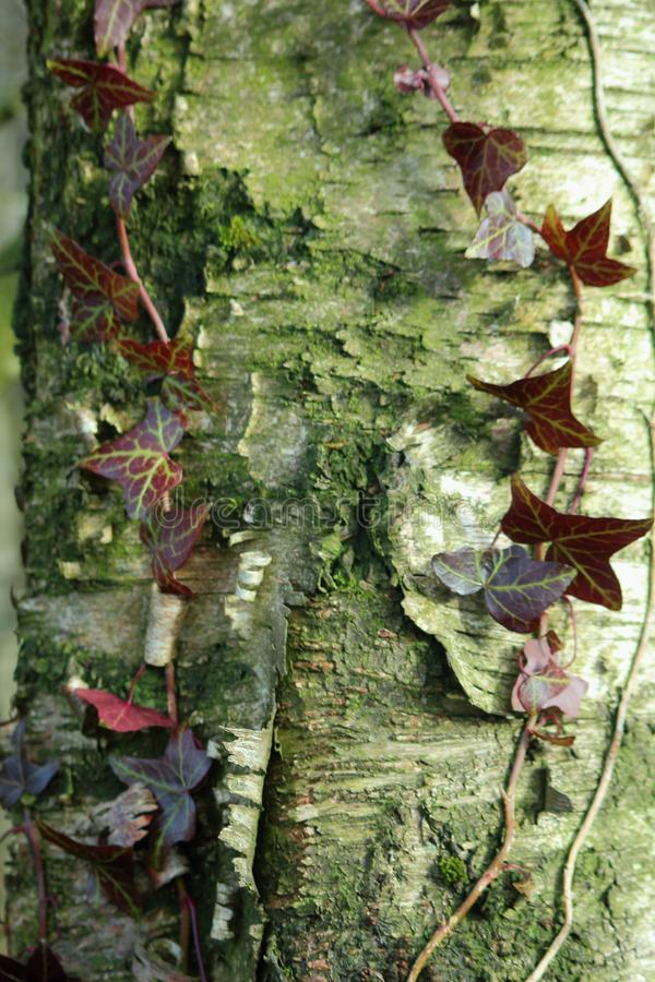 Tree trunk with peeling bark and ivy. stock photography