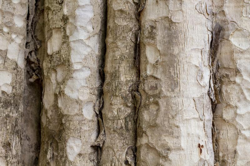 Tree trunk photo texture. Natural wood background. Pale timber with weathered bark. Faded wooden backdrop. stock images