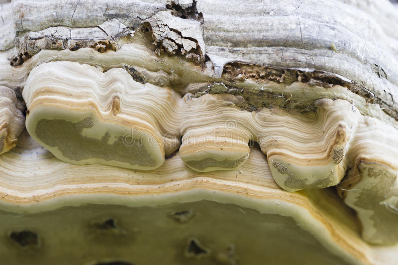 Tree trunk roof mushroom edge detail. With spore holes royalty free stock image