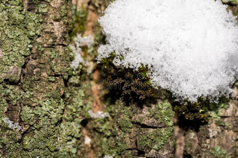 Tree trunk in the winter forest, green bark with snow. Macro photo stock photos