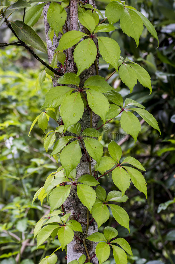 Free Tree Trunk With A Climbing-plant Stock Photography - 31354812
