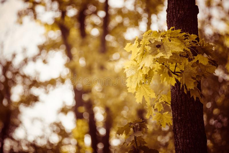 Tree trunk with yellow leaves in autumn forest. Sunny day royalty free stock photography