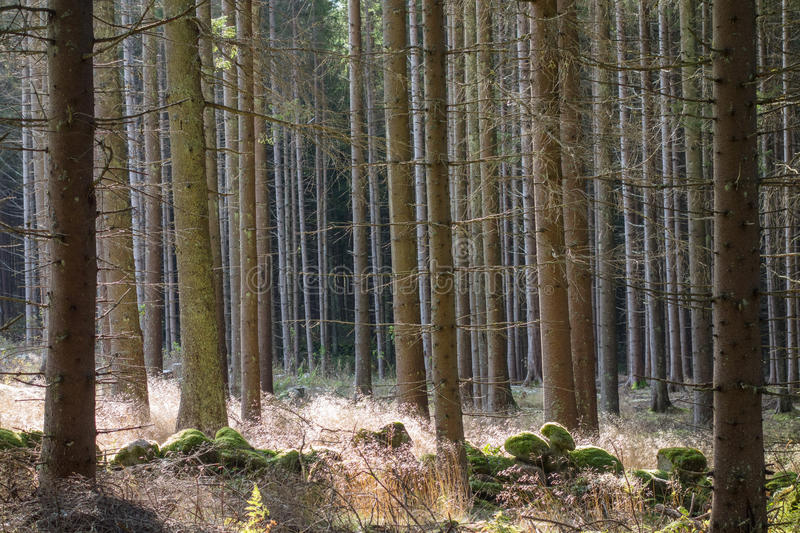 Download Tree trunks in backlight stock image. Image of spruce - 32962473