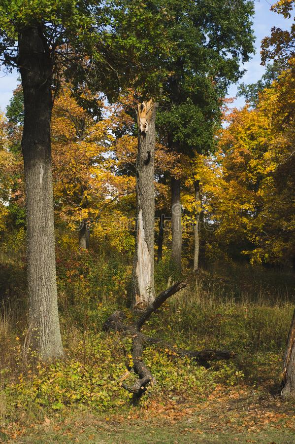 Tree trunks and dried logs in the autumn forest royalty free stock images