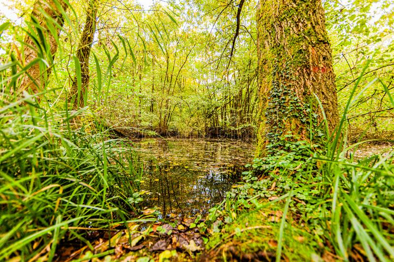 Tree trunks in the forest next to a pond with clean water and dry leaves. Surrounded by large vegetation, day in early autumn in Schinnen Beekdal Route, south stock images