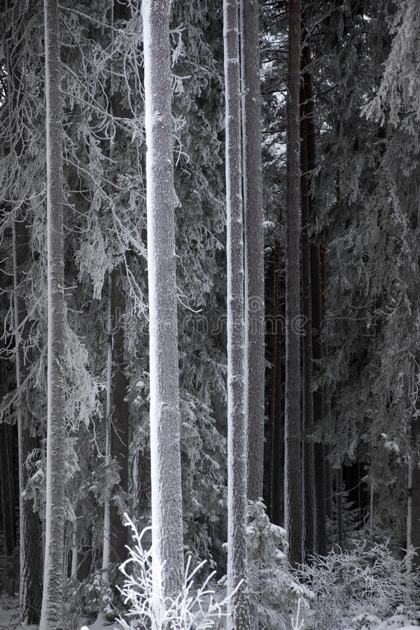 Tree trunks with hoar frost royalty free stock images
