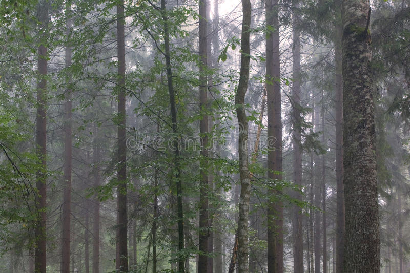 Tree Trunks In Misty Stand Royalty Free Stock Images