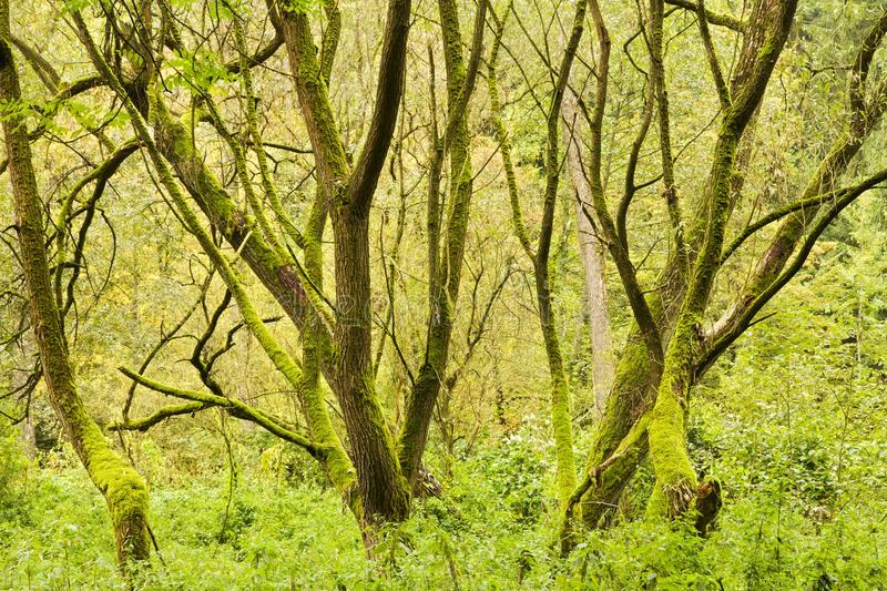 Tree trunks. Several tree trunks covered with moss in a forest royalty free stock photos