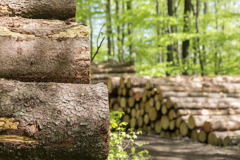 Tree trunks. Some plain tree trunks in a forest royalty free stock photo