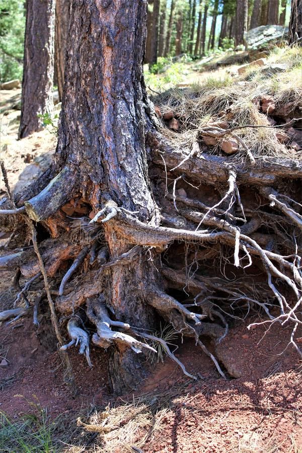 Tree Trunks at Woods Canyon Lake, Coconino County, Arizona, United States. Tree trunks at Woods Canyon Lake during the summer in Coconino County, located in royalty free stock photo