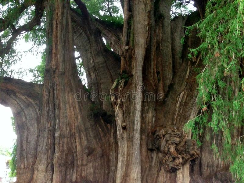 Tree of Tule the largest of the world tree of Tule the largest in the world. More than 2,000 years in the State of Oaxaca in Mexico stock image