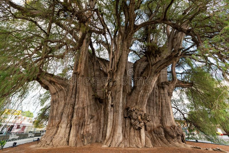 Tree of Tule in Mexico. Tree of Tule, said to be the largest tree in the world near Oaxaca, Mexico royalty free stock image