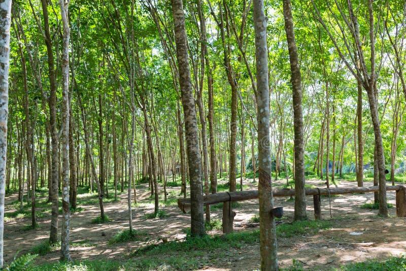 Tree tunnel in rubber plantation, Phuket, Thailand. Way through garden park in summer season. Plantation tree rubber or latex tree stock images