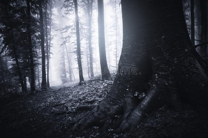 Tree with giant roots in mysterious dark forest stock photos