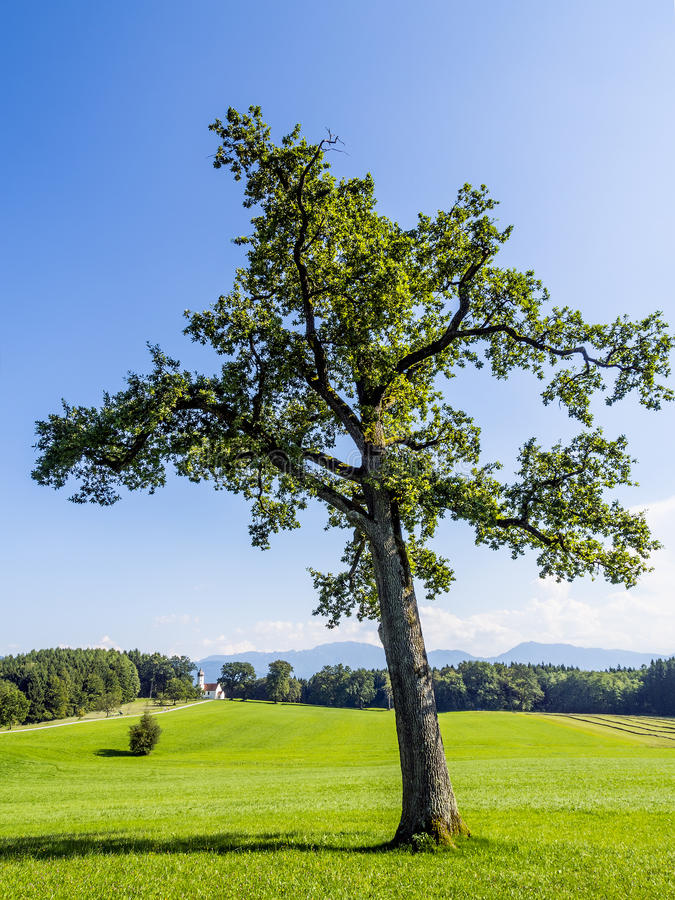 Tree in typical Bavarian landscape royalty free stock photography