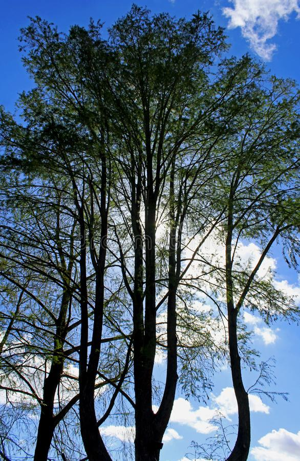 Tree under blue sky. Several trees are standing and growing under the blue sky of California royalty free stock photos