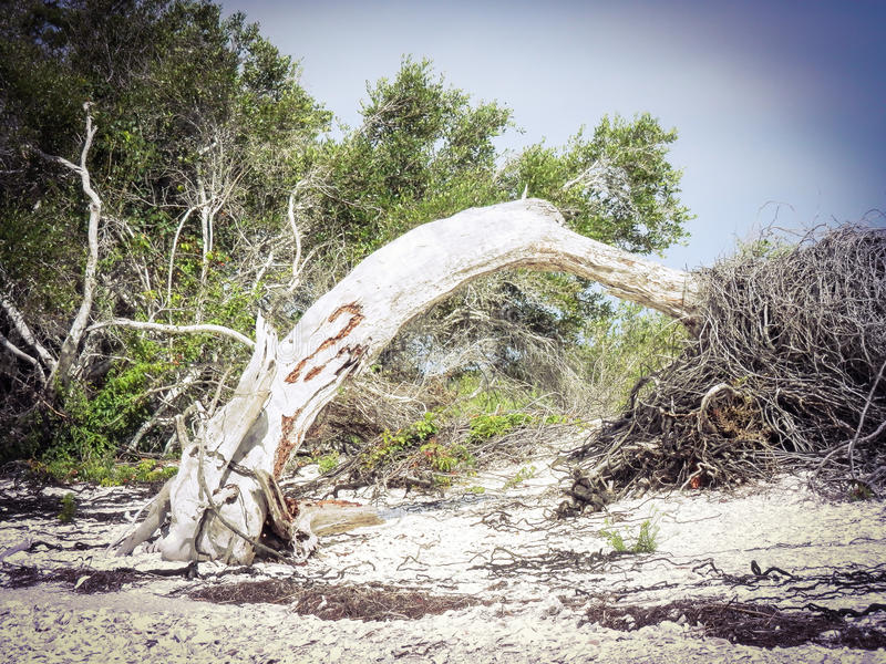 Tree uprooted. Uprooted tree on the beach stock photography