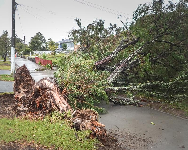 Uprooted tree over footpath in storm. Tree uprooted in storm blocking footpath and driveways in Auckland New Zealand royalty free stock photo