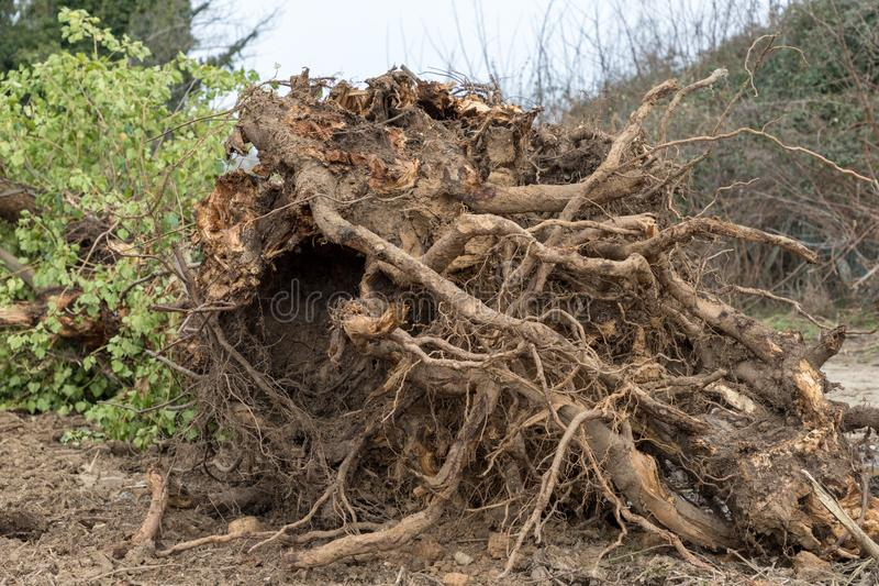 Uprooted tree. A tree uprooted by the wind, fallen to the ground and with its roots uncovered royalty free stock photo